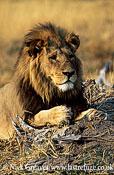 Lion male, Panthera leo, Moremi Game Reserve National Park, Botswana