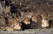 Lion pride, Panthera leo, Moremi Game Reserve National Park, Botswana