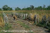 Lions crossing 'Forth Bridge', Panthera leo, Moremi Game Reserve National Park, Botswana
