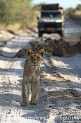 Lion young in track, Panthera leo, Nxai Pan Game Reserve, Botswana