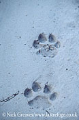 Lion tracks (spoor), Panthera leo, Moremi Game Reserve National Park, Botswana
