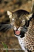 Leopard snarling, Panthera pardus, Zambezi National Park, Zimbabwe