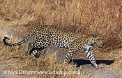 Leopard, Panthera pardus, Moremi Game Reserve National Park, Botswana