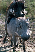 Warthog mating, Phacochoerus africanus, Hwange National Park, Zimbabwe