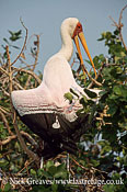 Wood or Yellow billed stork, Mycteria ibis, Moremi Game Reserve National Park, Botswana