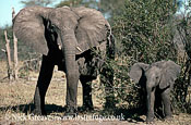 African Elephant (Loxodonta africana), cow and calf, Hwange National Park, Zimbabwe