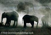 African Elephant (Loxodonta africana), herd dusting, Hwange National Park, Zimbabwe