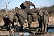 African Elephant (Loxodonta africana), Bull and Cow Mating, Hwange National Park, Zimbabwe, elephants mounting, reproduction