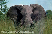 African Elephant (Loxodonta africana), , A big bull Elephant wanders through the luxuriant vegetation in a vlei during the wet season, a time of plenty to all herbivores, Hwange National Park Zimbabwe