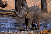 African Elephant (Loxodonta africana), calf in water at Water Pan, Hwange National Park, Zimbabwe, waterhole