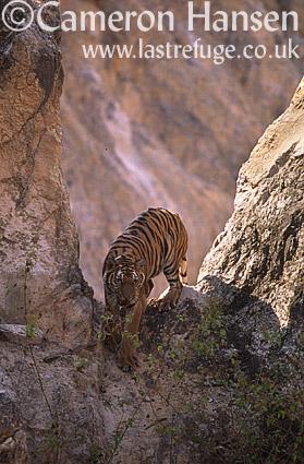 Indochinese Tiger (Panthera tigris corbetti), Wat Pa Luang Ta Bua Yannasampanno, Kanchanaburi, Thailand