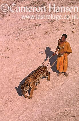 Buddist Monk and Indochinese Tiger (Panthera tigris corbetti), Wat Pa Luang Ta Bua Yannasampanno, Kanchanaburi, Thailand