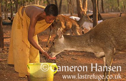 Buddist Monk and Muntjac Deer, Wat Pa Luang Ta Bua Yannasampanno, Kanchanaburi, Thailand