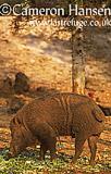 Wild Boar,Wat Pa Luang Ta Bua Yannasampanno, Kanchanaburi, Thailand