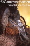 Orangutan - male (Pongo pygmaeus), Dusit Zoo, Thailand