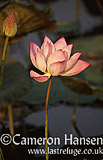 Lotus, Asian Water Lily, Thailand