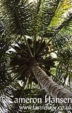 Coconut Palms, Koh Pha Ngan, Thailand
