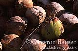 Coconuts, Koh Pha Ngan, Thailand