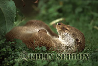 Eurasian Otter (Lutra lutra) laid up, Scotland, UK