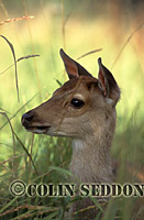 Young Sika Deer (Cervus rippon), Somerset, UK