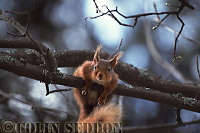 Red Squirrel (Sciurus vulgaris) in tree, Scotland, UK