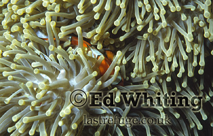 Anemonefish (Amphiprion sp.) Clownfish, Sleeping with the anemone, The Andaman Islands, underwater, India