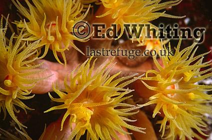 Cave Coral (Tubasstrea aurea), Sun coral, The Andaman Islands, underwater, India