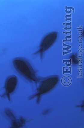 Fish moving on blue, The Andaman Islands, underwater, India