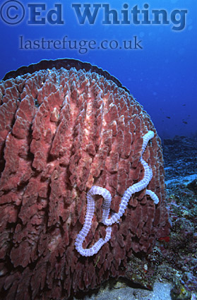 Neptune's Cup Sponge (Porifera) and Sea Cucumber, The Andaman Islands, underwater, India