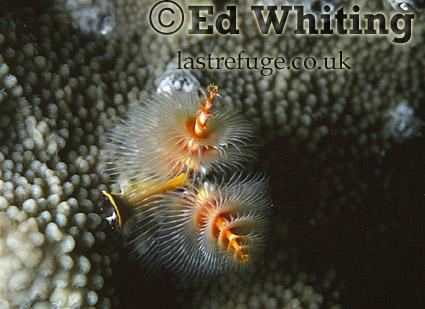 Chrismas Tree Warms (Annelids), (Spirobranchus giganteus), The Andaman Islands, underwater, India