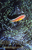 Anemonefish (Amphiprion sp.) Clownfish, At home with the host, The Andaman Islands, underwater, India