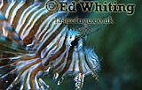 Lionfish (Pterois sp.) head shot with movement, The Andaman Islands, underwater, India