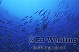 Scenic, The sound of Dolphin, Diver with Barracuda and Fusilierfish, The Andaman Islands, underwater, India