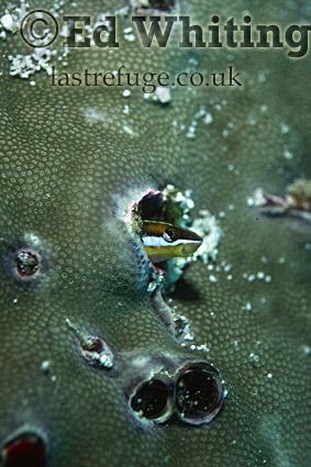 Piano Fangbenny (Plagiotremus tapeinosoma) in coral home, Mid-south Red Sea, Egypt