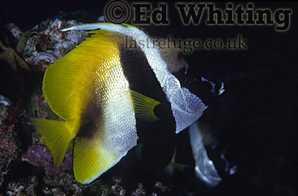 Masked Bannerfish (Heniochus monoceros), Mid-south Red Sea, Egypt