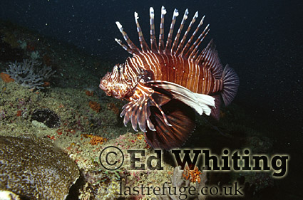 Wide angle photograph of Lionfish (Pterois sp.), Indian Ocean, Kenya