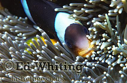 Anemonefish (Amphiprion sp.) Clownfish, Indian Ocean, Kenya