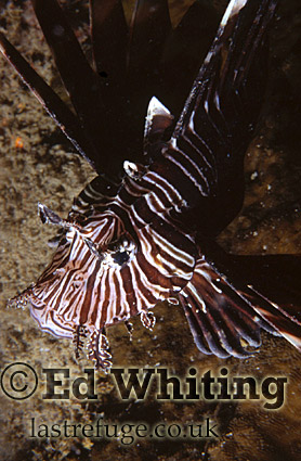 Lionfish (Pterois sp.) taken soft with hard shadow, Indian Ocean, Kenya
