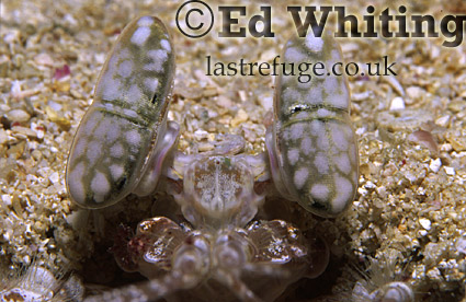 Manta Shrimp eyes, Indian Ocean, Kenya