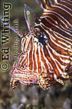Head of Lionfish (Pterois sp.), Indian Ocean, Kenya