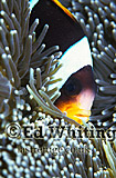 Anemonefish (Amphiprion sp.) Clownfish, Head only, Indian Ocean, Kenya