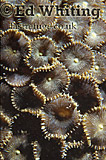 Zoanthidea, Indian Ocean, Kenya
