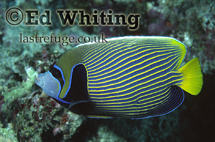 Emperor Angelfish (Pomacanthus imperator), Maldives