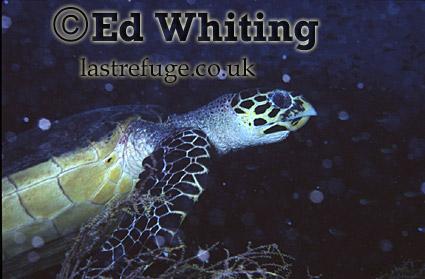 Hawksbill Turtle (Eretomochelys imbricate squamata) in strong current, Maldives