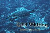 Hawksbill Turtle (Eretomochelys imbricate squamata) on the move, Maldives