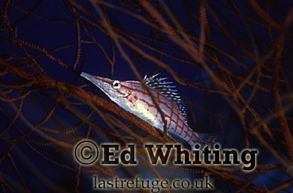 Longnose Hawkfish (Oxycirrhites typus), on the blue background, Southern Red Sea, Sudan
