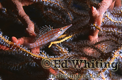 Longnose Hawkfish (Oxycirrhites typus), in tree coral, Southern Red Sea, Sudan