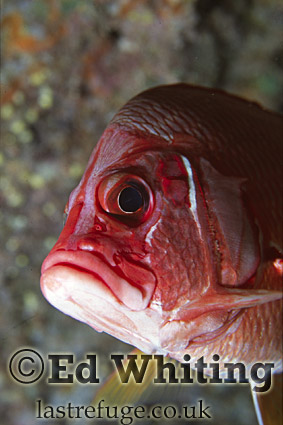 Long-jawed Squirrelfish (Sargocentron spiniferum), Southern Red Sea, Sudan