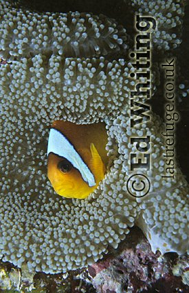 Anemonefish (Amphiprion sp.) Clownfish, Head only, Southern Red Sea, Sudan