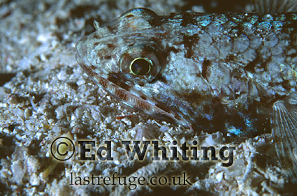 Slender Lizardfish (Saurida gracilis) feeding at night, Southern Red Sea, Sudan
